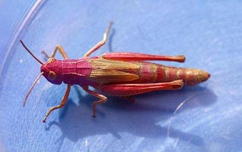pink-grasshopper_1478667c